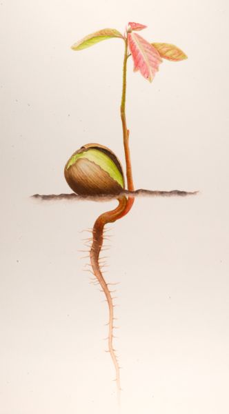 Quercus alba, White Oak, Acorn Sprout ©Nellie Sue Potter