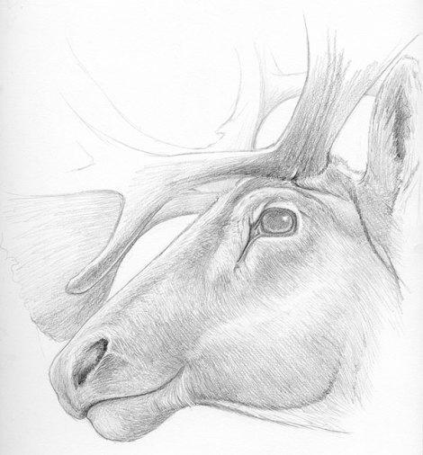 Caribou sketch © Emily Damstra 2010