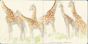 Giraffe sketch by Kathryn Chorney.