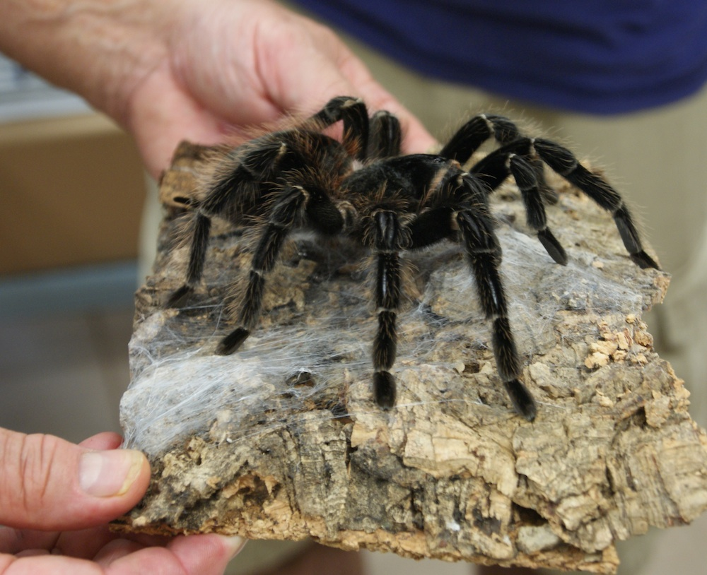 Giant spider eating bird - photo#24
