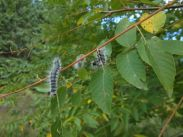 Walnut caterpillars (Datana integerina). Photo: Trish Murphy