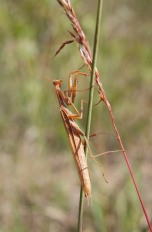 Praying mantis. Photo: Emily Damstra
