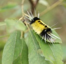 Spotted tussock moth. Photo: Emily Damstra