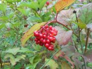American highbush cranberry fruit. Photo: Trish Murphy