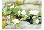Bloodroot, Elora Gorge by Trish M. Murphy