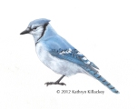 Blue Jay by Kathryn Killackey