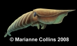 Hurdia – Burgess Shale fossil reconstruction by Marianne Collins