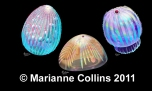 Ctenophore Jellyfish – Burgess Shale fossil reconstruction by Marianne Collins