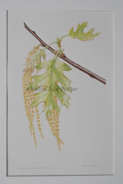 Black Oak in Spring by Nellie Sue Potter