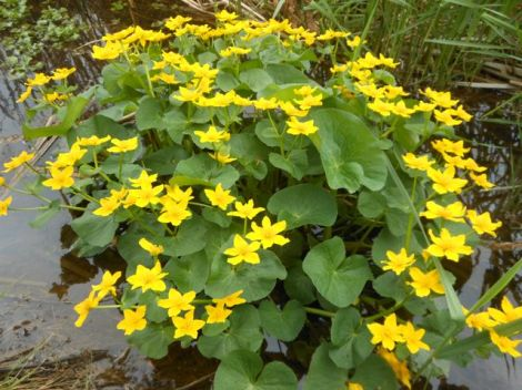 Marsh marigolds near the car park. Photo: Trish Murphy