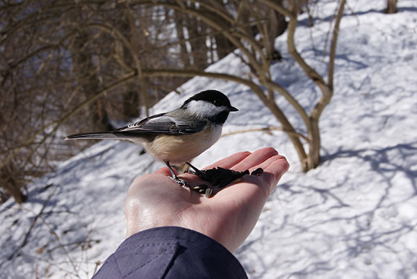 Chickadee in hand at RBG