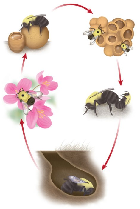 Bumble Bee Life Cycle Illustration © Ann Sanderson