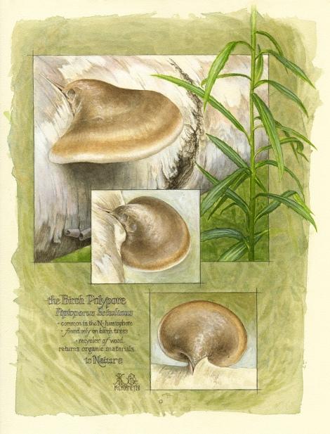 Birch Polypore - Piptoporus betulinus © Kathryn Chorney
