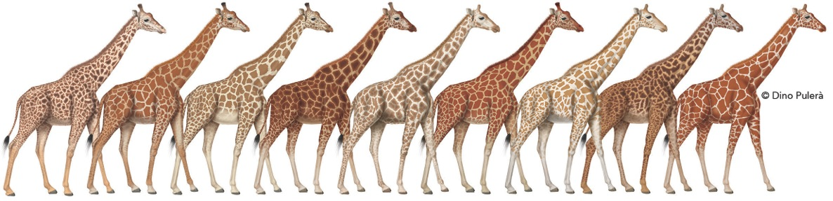 comparing mammals giraffe and lion Kenya is a country of diverse, rich habitat habitat fragmentation continues to be a threat to many species in kenya, including the endangered grevy's zebra lions, cheetahs, giraffe, and many other african read more all projects.