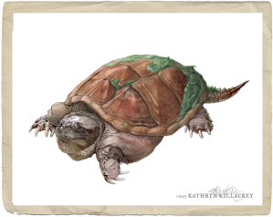 """Common Snapping turtle"" by Kathryn Killackey"