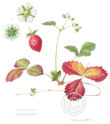 """Wood Strawberry"" by Nellie Sue Potter"